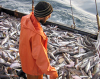 Охотском море: добыча рыбы заметно увеличилась после улучшения погодных условий